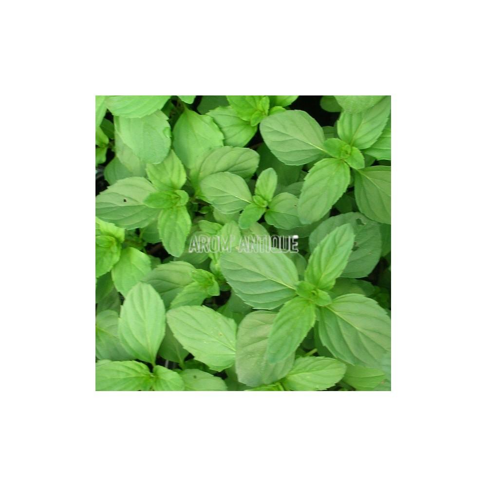 Planter Menthe En Pot menthe bergamote, mentha x piperita citrata 'bergamote', arom'antique