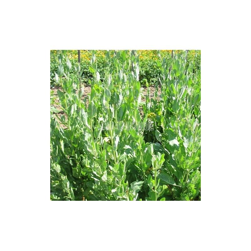 Menthe coq chartreuse tanacetum balsamita arom 39 antique - Planter de la menthe ...