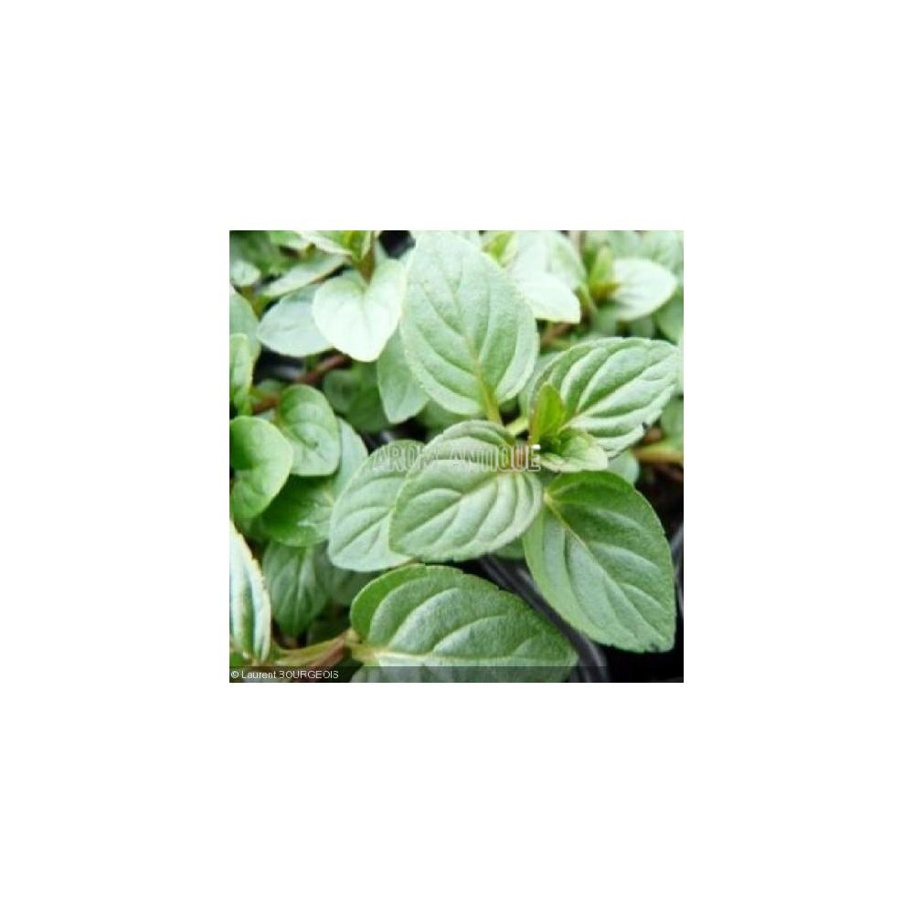 Planter Menthe En Pot menthe chocolat, mentha x piperita citrata 'chocolate', arom'antique.