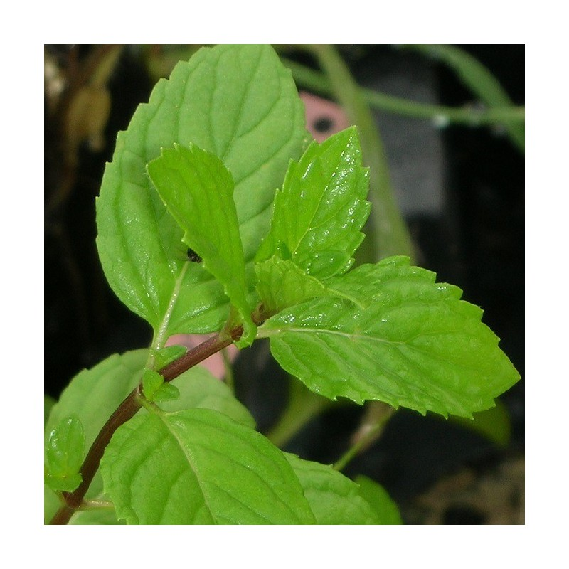 Menthe gingembre