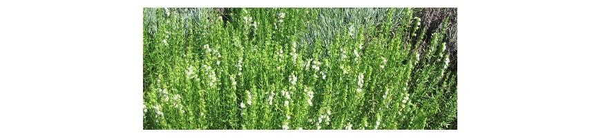 Les plantes aromatiques commençant par G - H - I - J - K - L