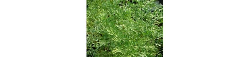 Les plantes médiévales proposées par la pépinière Arom'antique