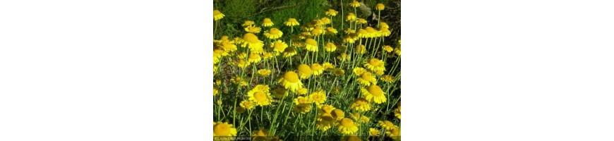 Les plantes tinctoriales de la pépinière Arom'antique