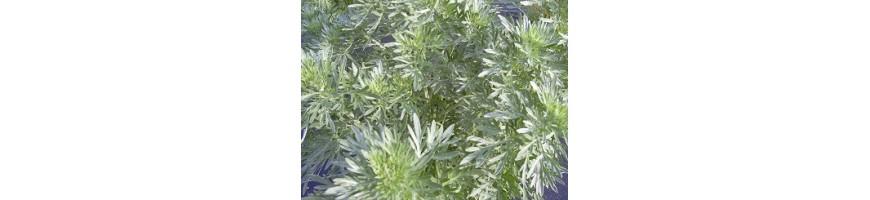 Les plantes à liqueurs de la production de la pépinière Arom'antique