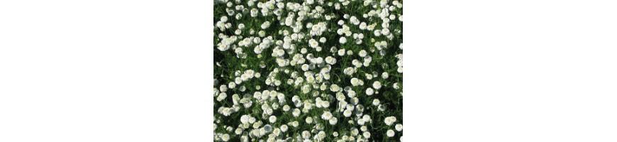 Les plantes médicinales bio proposées par la pépinière Arom'antique