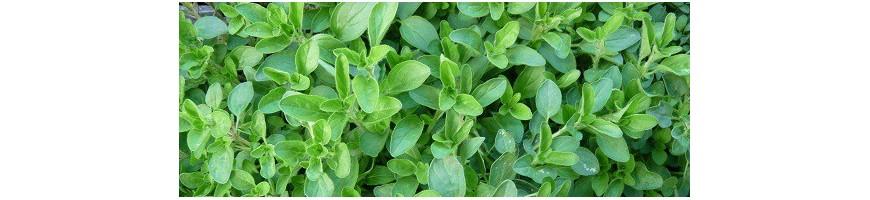 Classement des plantes aromatiques commençant par N - O - P - Q - R