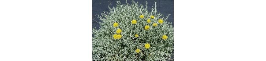 Collection de santolines bio de la pépinière Arom'antique