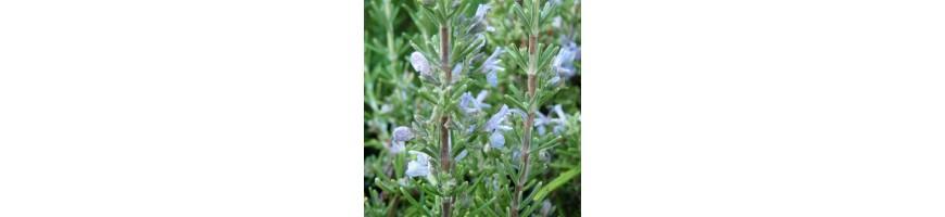 Lots de plantes aromatiques proposés par la plantes aromatiques