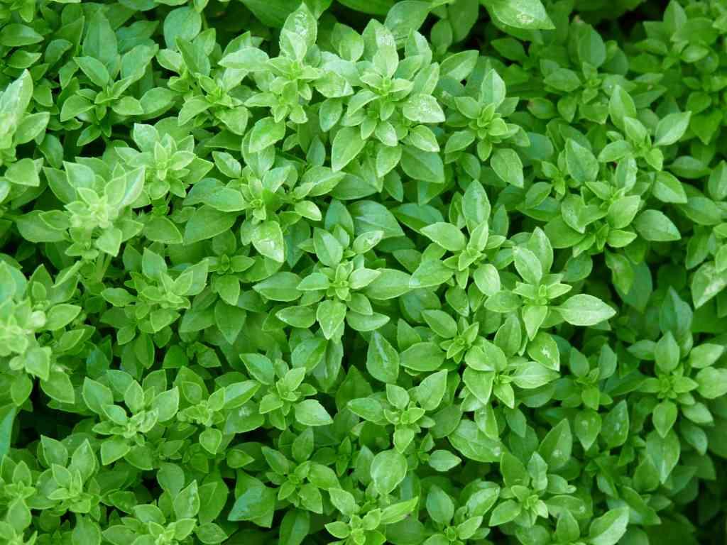 Basilic à petites feuilles.jpg