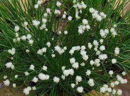 Ciboulette blanche 01site.png