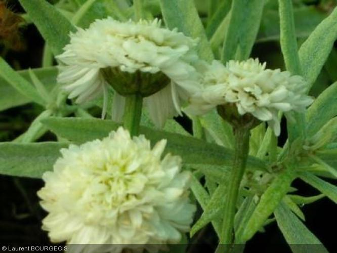 camomille romaine à fleurs doubles