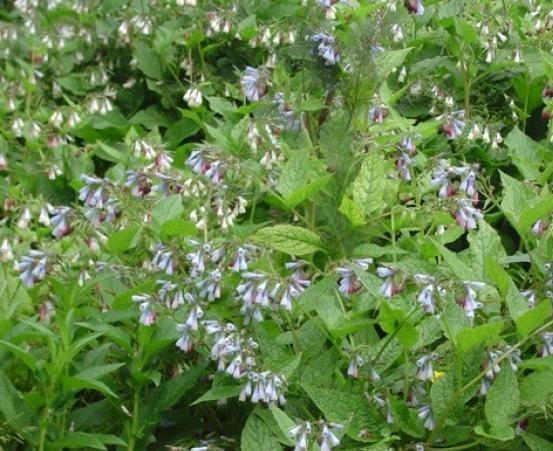consoude fleurs bleues