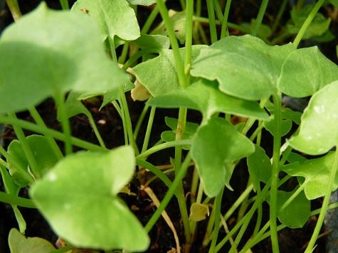 oseille à feuilles rondes
