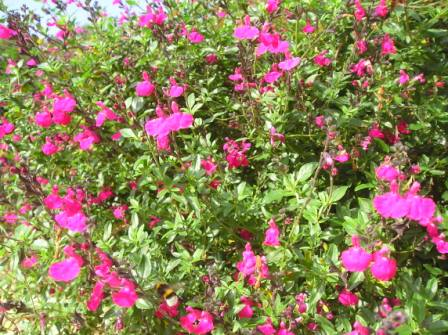 Sauge microphylla rose