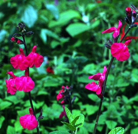 Sauge microphylla 'Pink Blush'